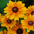 Pretty Rudbeckia Flowers In Bloom by DejaVu Designs