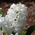 Pretty White Hyacinth Flower Blossom Flowering by DejaVu Designs