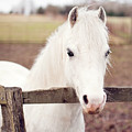 Pretty White Pony Looking Over Fence by Sharon Vos-Arnold