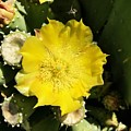 Prickly Pear And The Bee by Brad Hodges
