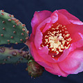Prickly Pear Bloom by Kevin McCarthy