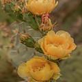 Prickly Pear Blossom Trio by Teresa Wilson
