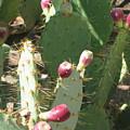 Prickly Pear Buds by Deborah Hildinger