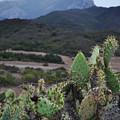 Prickly Pear Cacti Rancho Sierra Vista Satwiwa Mountains by Kyle Hanson