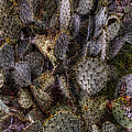 Prickly Pear Cactus At Tonto National Monument by Roger Passman