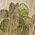 Prickly Pear Cactus In The Grass. by Rob Huntley