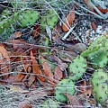 Prickly Pear Cactus by Terry Cobb