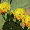 Prickly Pear Flowers H42 by Mark Myhaver