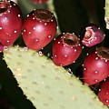 Prickly Pear-jerome Arizona by Nelson Strong