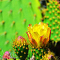 Prickly Pear by Robert Wallace