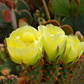 Prickly Pear Trio by Robert Meyers-Lussier