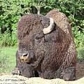 Prim And Proper Bison by Bobbie Moller