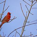 Primary Colours - Northern Cardinal - Cardinalis Cardinalis by Spencer Bush