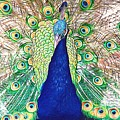 Prince Of The Peacocks by Alice Gipson
