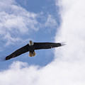 Prince Rupert Eagle Flight by Louise Magno