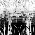Private Duck Swimming Hole 1 In Black And White by Elizabeth Ann  Roy
