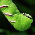 Privet Hawk Moth Caterpillar by Jouko Lehto