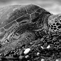 Profile Hawaiian Sea Turtle Bw by Amber D Meredith Photography
