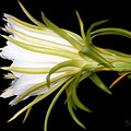 Profile Night Blooming Cereus by Barbara Chichester