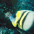 Profile Of A Cortez Angelfish by James Forte