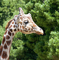 Profile Of A Giraffe by Sheila Fitzgerald