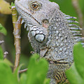 Profile Of A Gray Iguana In The Top Of A Bush by DejaVu Designs