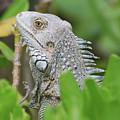 Profile Of A Gray Iguana Perched In A Bush by DejaVu Designs