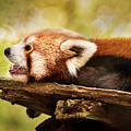 Profile Of A Red Panda by Don Johnson