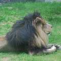 Profile Of A Sleeping Lion In Grass by DejaVu Designs