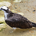 Profile Of An Osprey Bird In The Shallows by DejaVu Designs