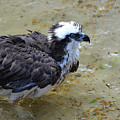 Profile Of An Osprey In Shallow Water by DejaVu Designs