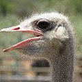 Profile Of An Ostrich by Mary Ivy