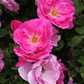 Profusion Of Pink by Doris Potter