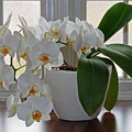 Profusion Of White Orchid Flowers by Gill Billington