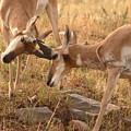 Pronghorn Antelope Bucks Locking Horns by Max Allen