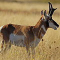 Pronghorn Antelope by Cindy Murphy - NightVisions