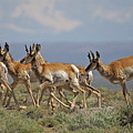 Pronghorn Antelope Running by Heather Coen