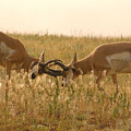Pronghorn Antelope Sparring In Autumn Field by Max Allen