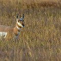 Pronghorn At Golden Hour by Yeates Photography
