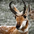 Pronghorn Buck In Snow - Yellowstone National Park by Neal Herbert