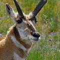 Pronghorn Buck by Karon Melillo DeVega