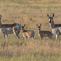 Pronghorn Fawns And Their Mothers by Tony Hake