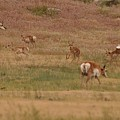Pronghorn Fawns Kicking Up Their Heels by Frank Madia
