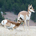 Pronghorn Feeding by Dennis Hammer