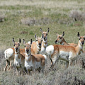 Pronghorn Harem by Whispering Peaks Photography