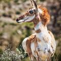 Pronghorn Mother by Rikk Flohr