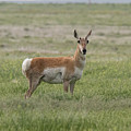 Pronghorn On The Plains by Tony Hake