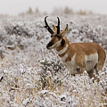 Pronghorn by Ronnie and Frances Howard