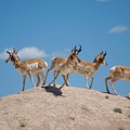 Pronghorn Scatter by Nathan Cowan