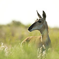 Pronghorn by Sherry Adkins